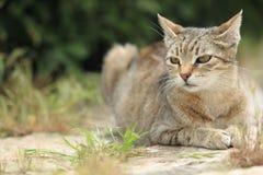 说谎的虎斑猫 免版税库存图片
