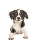 说谎的被混合的品种逗人喜爱的黑白小狗 库存照片