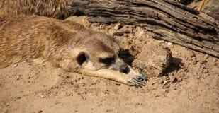 说谎的Meerkat在阳光下 免版税库存照片