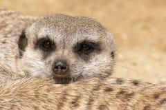 说谎的meerkat 免版税库存照片