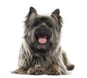 说谎石标的狗的正面图,气喘,隔绝 免版税库存图片