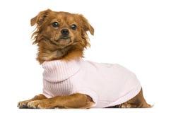 说谎穿戴的混杂品种的奇瓦瓦狗, 10个月 免版税库存图片