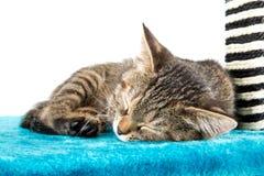 说谎蓝色长毛绒软的表面上的灰色平纹小猫 库存照片