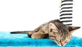 说谎蓝色长毛绒软的表面上的灰色平纹小猫 免版税库存照片