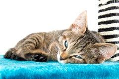 说谎蓝色长毛绒软的表面上的灰色平纹小猫 库存图片