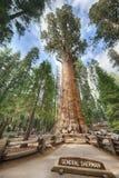 谢尔曼将军巨型美国加州红杉 免版税图库摄影