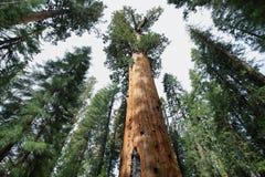 谢尔曼将军树在美洲杉国家公园巨型森林里  库存照片