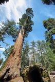 谢尔曼将军树在美洲杉国家公园巨型森林里  图库摄影
