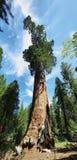 谢尔曼将军树在美洲杉国家公园巨型森林里  免版税库存照片