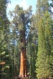 谢尔曼将军结构树 库存图片