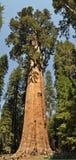 谢尔曼,巨大的美国加州红杉树将军 免版税库存照片