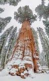 谢尔曼Tree -巨型美国加州红杉树将军在美洲杉国家公园,美国 免版税库存照片
