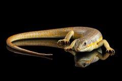 谢德` s skink,在被隔绝的黑背景的小蜥蜴schneideri 库存图片