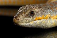 谢德` s skink,在被隔绝的黑背景的小蜥蜴schneideri 图库摄影