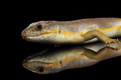 谢德` s skink,在被隔绝的黑背景的小蜥蜴schneideri 库存照片