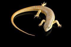 谢德` s skink,在被隔绝的黑背景的小蜥蜴schneideri 免版税图库摄影