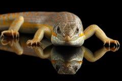 谢德` s skink,在被隔绝的黑背景的小蜥蜴schneideri 免版税库存图片