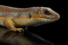 谢德` s skink,在被隔绝的黑背景的小蜥蜴schneideri 免版税库存照片