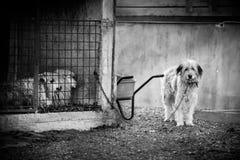 谢泼德的狗 库存图片