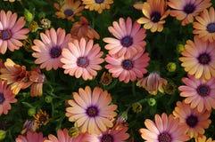 谦逊的雏菊花创造一个强有力,五颜六色的样式 免版税库存照片