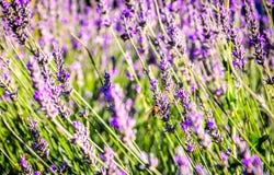 谦逊蜂在lavander花被弄脏的背景关闭领域  免版税图库摄影