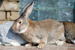 谨慎灰色兔宝宝的图象 免版税库存照片