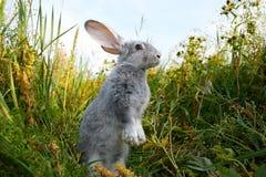 谨慎野兔 免版税库存照片