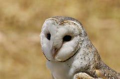 谷仓注视美妙的猫头鹰 免版税库存照片
