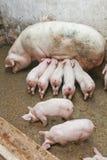 谷仓猪 免版税库存图片
