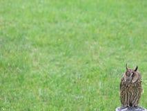 谷仓猫头鹰在岗位栖息有草背景 图库摄影
