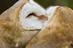 谷仓猫头鹰夫妇修饰的 免版税库存照片