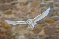 谷仓猫头鹰,Tyto晨曲,当精密翼飞行在石墙上,在老城堡的轻的鸟着陆,动物在城市生活环境, 库存图片