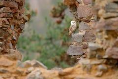 谷仓猫头鹰,Tyto晨曲,当精密翼,登陆在石墙上,在老城堡的轻的鸟飞行,动物在城市生活环境 免版税库存图片