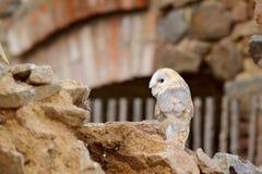 谷仓猫头鹰,Tyto晨曲,当精密翼,登陆在石墙上,在老城堡的轻的鸟飞行,动物在城市生活环境 库存图片
