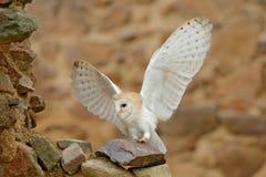 谷仓猫头鹰,Tyto晨曲,当精密翼,登陆在石墙上,在老城堡的轻的鸟飞行,动物在城市生活环境 图库摄影