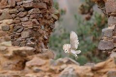 谷仓猫头鹰,Tyto晨曲,当精密翼,登陆在石墙上,在老城堡的轻的鸟飞行,动物在城市生活环境 库存照片