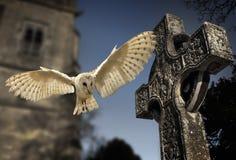 谷仓猫头鹰(晨曲的Tyto) -坟园在英国 免版税库存照片