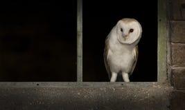 谷仓猫头鹰在视窗里 免版税库存照片