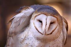 谷仓用羽毛装饰被翻动的猫头鹰 免版税库存照片