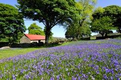 谷仓被顶房顶的会开蓝色钟形花的草&# 免版税库存图片