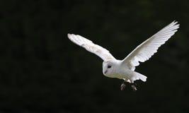 谷仓鸟显示猎鹰训练术猫头鹰牺牲者 免版税图库摄影