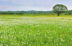 水仙谷在胡斯特,乌克兰 免版税库存图片