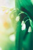 谷春天开花的森林柔和的花百合在阳光下与在浅绿色的背景的露滴 免版税库存图片
