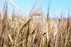 谷物丰收准备好成熟 免版税库存图片