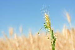 谷物丰收准备好的黄色 库存图片