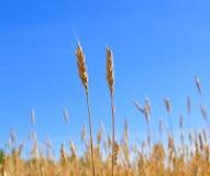 谷物丰收准备好的黄色 免版税库存照片