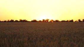 谷物丰收麦子在夏天成熟 成熟的麦子的领域反对日落的 有五谷的成熟麦子小尖峰在 影视素材