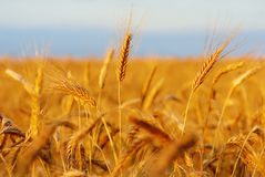 谷物准备好领域的收获 免版税图库摄影