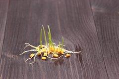 谷物发芽的麦子 免版税图库摄影