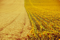 谷物和向日葵领域视图 库存图片